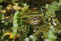 Hello Kermit ! (@Katerina Log) Tags: frog amphibian florafauna foliage water green colour closeup sonyilce6500 105mmf28 katerinalog nature natura outdoor daylight spring lake bokeh depthoffield macro