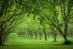 court /sad (agusrepec) Tags: sad court orzech walnuts drzewa trees dordonia dordogne