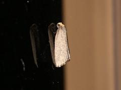 Lepidoptera sp. (dhobern) Tags: 2018 china march xtbg xishuangbanna yunnan lepidoptera