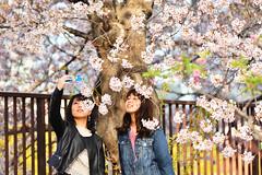 Cherry Blossoms (naruo0720) Tags: cherryblossom sakura osakacastlegarden 桜 さくら サクラ 大阪城公園 sigmalenses