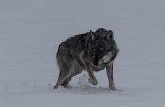 Canon 7D MARKII (nubekecorre73) Tags: lupo lobo wolf natura canon