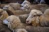 Wooly Jumpers (holly hop) Tags: woollyjumpers animals australia emu farm shearing shearingshed sheep sheepyard victoria wool ngc nationalgeographicgroup postprocessing sliderssunday