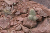 CAE010600a (jerryoldenettel) Tags: 180326 2018 blackspineclaretcup cactaceae caryophyllales claretcup coreeudicots echinocereus echinocereustriglochidiatus kingscrowncactus kingscupcactus nm robustclaretcup rosesclaretcup roseshedgehog socorroco spinelesshedgehog thebox whitespinedclaretcup wildflower cactus flower
