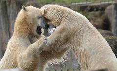 polarbear Blijdorp BB2A7137 (j.a.kok) Tags: polarbear bear beer ijsbeer ursusmaritimus predator animal blijdorp mammal zoogdier dier noordpool northpole arctic