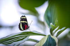 Sigma Art 135mm f1.8DG HSM (intylerwetrust72) Tags: nikon d800 sigma art 135mmf18 butterfly herrenhausen hannover bokeh bokehlicious insect plant green colors berggarten
