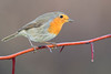 robin (leonardo manetti) Tags: uccello bird nature red winter colours naturephotography field natural nikkor countryside green morning black albero dawn cloud clody robin