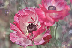 Tecolote Giant  Ranunculus III ( Persian Buttercup ) (Zara Calista) Tags: pink beautiful tecolote giant ranunculus ii purple buttercup asiaticus