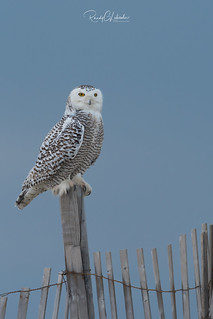 Snowy Owls of New Jersey   2018 - 24