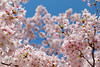 Cherry blossoms and sky (tanaka0511) Tags: cherry blossoms osaka yaenosato pink blue sakura 桜