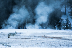 Yellowstone Coyote (Markp33) Tags: