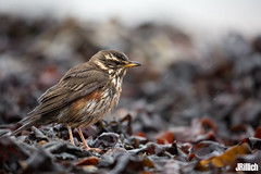 rainy day - Redwing @ Helgoland, 2018 (Jan Rillich) Tags: helgoland heligoland northern sea northernsea nordsee insel düne sandstein jan rillich janrillich picture photo photography foto fotografie eos digital wildlife animal nature beautiful beauty sunny sun fauna flora free animalphotography image 2018 eastern spring küste nordseeküste sand dune april 5dmarkiii canon rotdrossel turdusiliacus redwing thrush turdidae regen rain tang