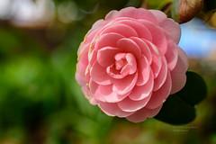 S18_9581 (Daegeon Shin) Tags: nikon d750 tamron tamron45mmf18vc 45mmf18 flower flor camelia camellia dof bokeh nature 니콘 탐론 꽃 동백 심도 보케 빛망울 자연