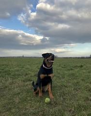 Nova..7 months old and growing fast ☺️xx (shona.2) Tags: playful ball pet nova rottweiler rottie dog puppy