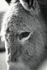 Sad Eyes - Donkey (Elowi) Tags: donkey esel animal tier schwarzweis schatten shadow blacknwhite black white portrait focus fokus schärfe sharpness blackandwhite schwarz eye auge germany cleebronn tripsdrill wildpark zoo sonyalpha sony alpha6000 alpha selp18105g kontrast contrast porträt