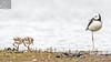 Pied Stilt 28 (Black Stallion Photography) Tags: pied stilt chick adult bird wildlife newzealand nzbirds water brown white feathers young black stallion photography igallopfree