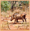 Warthog - Balancing Act (Johann (Sasolburg, RSA.)) Tags: warthog vlakvark balance squareformat makemesmile ef70300mmf456isusm canoneos60d johanndejager coth5