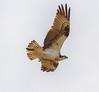 Just After Lift Off (John Kocijanski) Tags: osprey bird birdofprey raptor animal wildlife nature wings flight flying canon7d canon70300mmllens