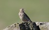 Meadow Pipit 2 (R.Miller1979) Tags: meadow pipit birds nature wildlife fauna sheffield south yorkshire spring bokeh