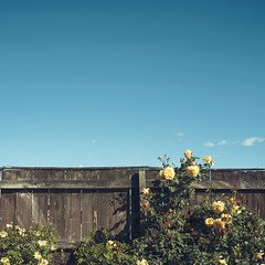 Yellow flowers over a wooden fence (josemanuelerre) Tags: blue sky clear day flower yellow carnation rose fence wooden vintage old retro cloud minimal square nature outdoors garden decoration natural house park landscape sunny light summer spring blossom leaf green horizon explore beauty scene