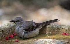 On The Dry Side (ACEZandEIGHTZ) Tags: mockingbird nikon d3200 birdwatcher backyard birdbath nature bokeh mimus polyglottos grayandwhite alittlebeauty coth coth5 sunrays5