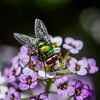 Mouche verte (Paul Leb) Tags: insecte mouche verte insect insecto mosca fly