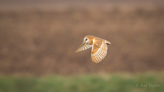 Silent Hunting (Bondy Taylor) Tags: bop barnowl bokeh dof flight grass hunting longgrass outdoor wildlife bird golden nature wild wings hawling england unitedkingdom gb
