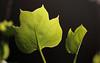 Fresh Leaves (Rick & Bart) Tags: garden tuin nature macro rickvink rickbart canon eos70d leaves spring lente liriodendrontulipifera tuliptree