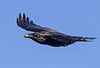 The Raven ( corvus corax ) - The black beauty !!! (Clive Brown 72) Tags: corvidae wales cold freezing snow inflight raven