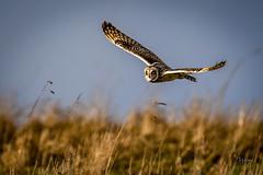 Short Eared Owl (3 of 3) (andy_harris62) Tags: shortearedowl shortie soe birdofprey birdinflight animal nature wildlife owl