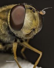Syrphus ribesii hoverfly (stevenbailey7) Tags: hoverflies diptera syrphidae insects closeup wildlife new eyes fly flies spring garden macromondays tamron nikon flickr
