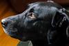 The eyes have it (FJMaiers) Tags: labrador dog profile blacklab boston