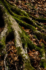 Grasping the ground (*Ranger*) Tags: nikond3300 nature outdoor woodland forest winter tree roots