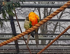 Time to snuggle! 😁 (LeanneHall3 :-)) Tags: parrot parrots birds aviary eastpark hull kingstonuponhull yellow orange green feathers snuggle samsung galaxys7edge