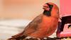 cardinal-0878 (pjh2000) Tags: cardinal bird birding birdwatching birdfeeder illinois wildlife canon7dmarkii sigma cardinaliscardinalis