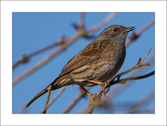 Dunnock, Prunella modularis (prendergasttony) Tags: dunnock prunella modularis nature avia rspb nikon d7200 outdoors wildlife 5000 mm bird grass wood tree pennington lancashire tonyprendergast elements