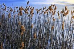 Schilf am zugefrorenen Schmachter See (lt_paris) Tags: urlaubinbinz2018 rügen binz schmachtersee sonnenuntergang wolken schilf himmel winter