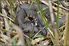 Grass Snake (image 1 of 3) (Full Moon Images) Tags: woodwalton fen greatfen bcn wildlife trust nnr national nature reserve cambridgeshire reptile grass snake