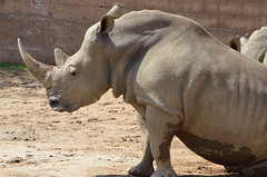 DSC_5398 (Andrew Nakamura) Tags: animal mammal rhino rhinoceros whiterhino southernwhiterhinoceros lyingdown sandiegozoosafaripark safaripark escondido