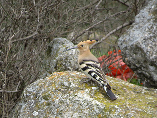 My first hoopoe this year.