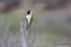 Toc toc ... (denis.loyaux) Tags: denis loyaux domaine des oiseaux nikon d850 4pfedifariègemazèresfrance european green woodpecker picvert