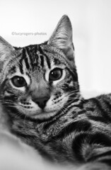 B&W 65/365 (lucyrogersphotography) Tags: bengal bengals cat kitten leothebengal bengalcat bengalkitten littleleo kingkeo blackandwhite bw animal mypet cute