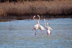 Fenicotteri rosa a Firenze (MaOrI1563) Tags: laghetto lago stagno fenicotterirosa firenze aeroporto toscana sestofiorentino pianadisestofiorentino migrazione cuore