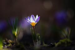 Krokus (Anja van Zijl) Tags: frühling spring krokus crocus macro natur nature garten tuin purple flower flora