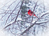 Late Winter Snow Storm (Shannonsong) Tags: winter snow snowstorm snowfall tree branches bird male cardinal northerncardinal red redbird nature cold weather