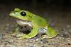 I own this road! Frogs of Okinawa (Okinawa Nature Photography) Tags: okinawanaturephotography shawnmmiller2013 natureofokinawa yahiknowshawnmiller conservationphotographybyshawnmiller ryukyuislands herpinginokinawa amphibians reptilesandamphibiansofokinawa animalsoftheyanbaruforest frogsofokinawa kissthefrog exploreokinawa greatnature greenfrogsofokinawa rhacophorusviridisviridis greentreefrogbyshawnmiller canonokinawa efs60mmf28macrousm canonnatureshooters