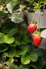 Sustainability_STORC_EPIC_20180417_0324 (Sacramento State) Tags: universitycommunications sacramentostate californiastateuniversitysacramento sacstate sustainability storc campus tour garden flower aquaponics greenhouse kids