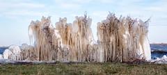 Ice Sculptures (Gijs Peijs) Tags: bevroren uitgeest sculpture netherlands winter koud sculptures bushes holland ijspegels ijs wall cold frozen ice