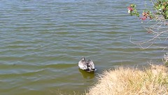 Vid - Pelican at Pondhawk Natural Area, Boca Raton  - 3.18.18 (carissaconti) Tags: pelican bird lake pond florida bocaraton nature wildlife
