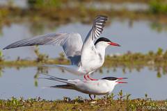 Sterna - Sterna hirundo _ (Silvio Sola) Tags: sterna uccello bird sternahirundo centrocicogneracconigi silviosola palude