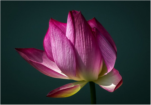 33 - Lotus